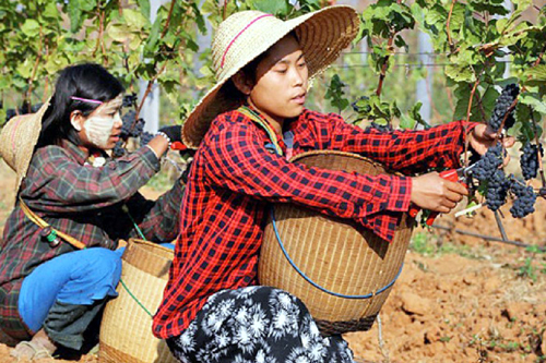 Red Mountain Vineyard Myanmar
